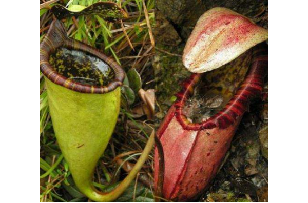 世界十大危险的植物 第四会导致心脏麻痹