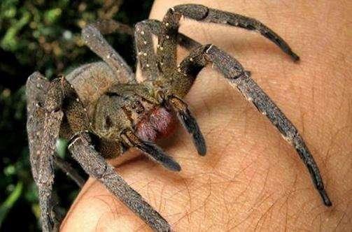 世界十大毒蜘蛛 第四名叫黑寡妇,第一极具攻击性