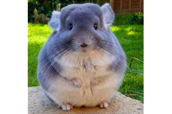 世界十大最圆的动物 每一个都可爱到爆,你都见过吗