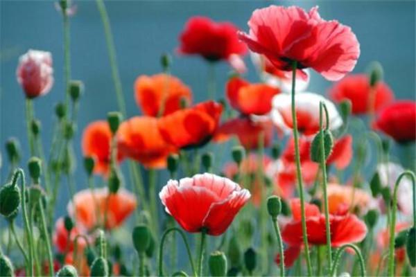 世界十大最危险的花 天仙子一点能毒死一只动物,遇见要小心