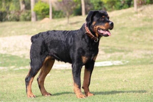 世界十大恶犬 加纳利犬致人死亡次数最多,第三竟然是国宝