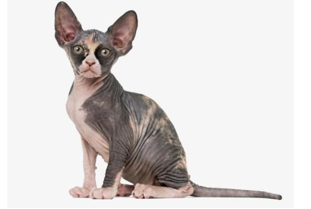 世界上十大最贵的猫 第一价格高达61万人民币