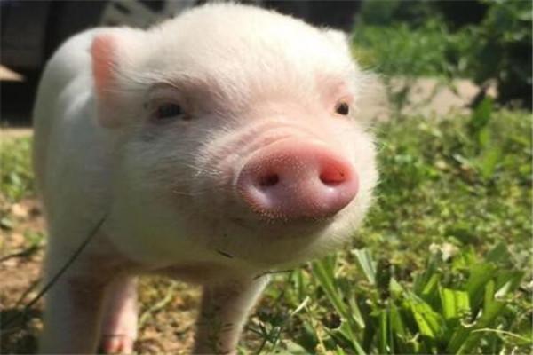 世界十大聪明动物 乌鸦居榜首,千万不要在嫌弃猪了