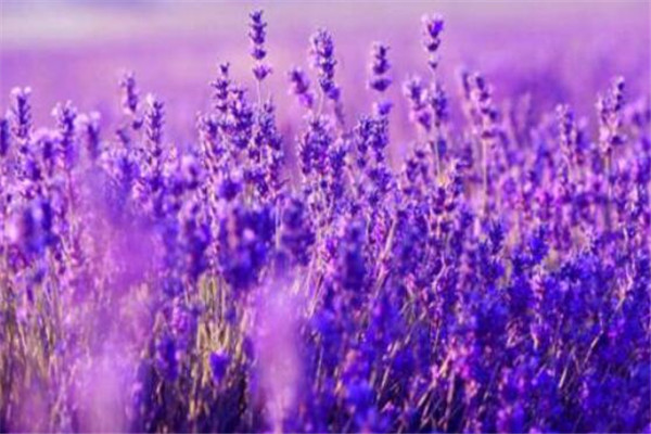 世界十大凄美的花 薰衣草上榜,彼岸花冥界唯一