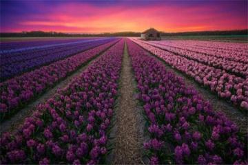 世界十大花海 最浪漫不过普罗旺斯薰衣草,一定要去