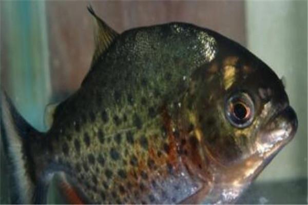 世界十大奇怪的鱼 水滴鱼以长得丑闻名,最后一个攻击性很强