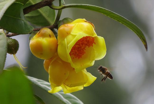 世界十大上濒临灭绝的植物 尸香魔芋上榜,第一名为笔筒树