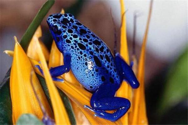 世界十大毒青蛙 KOKOE箭蛙叫声像鸟,黄金箭蛙三分钟让人毙命