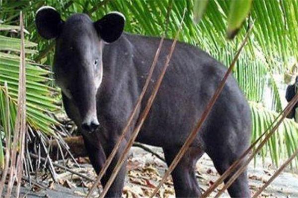 世界十大诡异的动物 新生指猴濒临灭绝,貘的鼻子神似猪鼻子