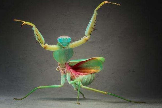 世界十大螳螂 中华大刀螳上榜,第一名实力最强悍