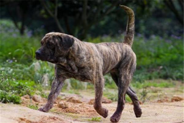世界十大护卫犬 加纳利犬比藏獒还猛,第一养起来很贵