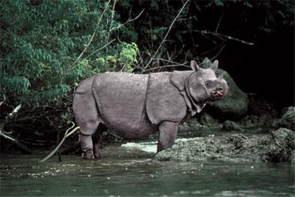 世界最著名十大动物 大熊猫上榜,爪哇犀牛喜欢独来独往