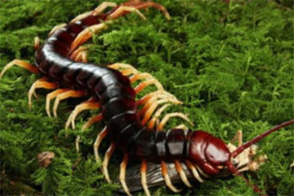 世界十大巨型蜈蚣 少棘蜈蚣你一定见过,看见哈氏蜈蚣请绕道