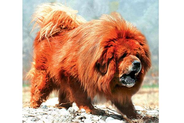 中国十大禁犬 杜宾犬和藏獒上榜,忠犬八公也在其中