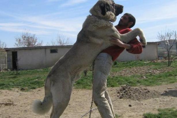 世界最大的十大犬种 体型大战斗力强,有你喜欢的吗