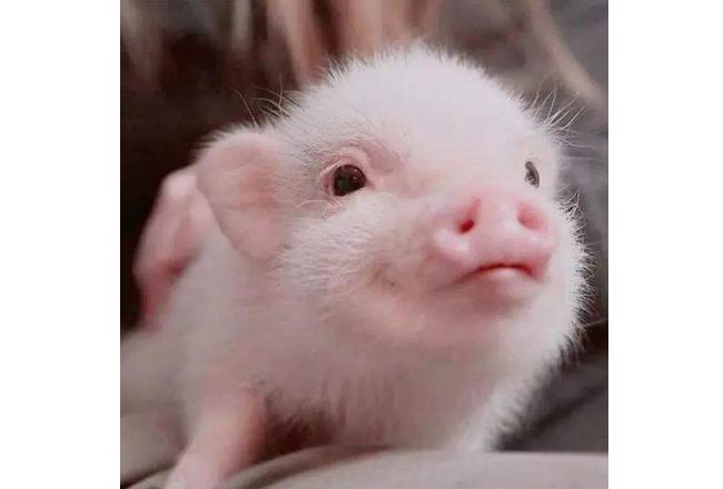 世界十大宠物 宠物狗位列第一,小香猪上榜