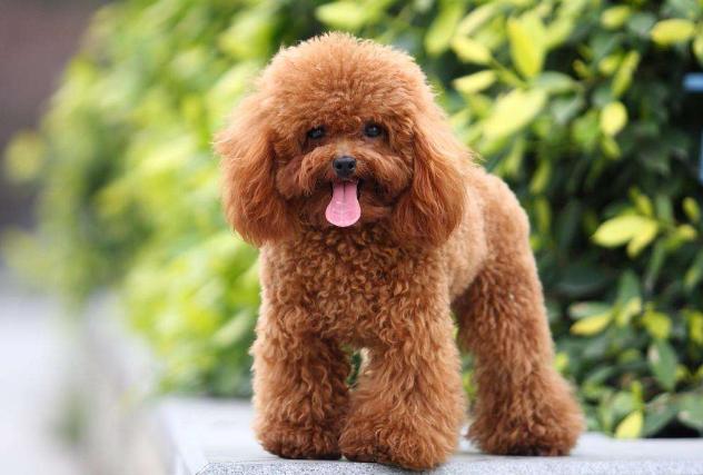 十大世界最可爱的狗排名 博美犬第一,萨摩耶上榜