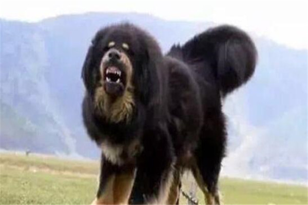 世界十大凶悍猛犬 高加索犬生存能力强,土佐斗犬被多国禁养