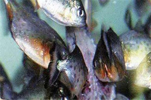 世界十大食肉动物 狼蛛能致人死,食人鱼咬是最凶猛的淡水鱼
