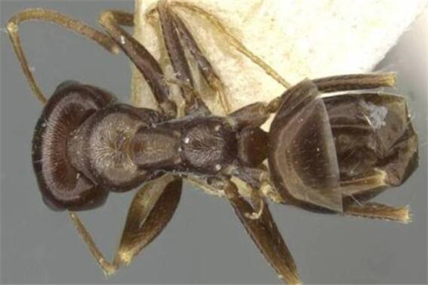 世界十大可怕的蚂蚁 子弹蚁带有毒刺,红火蚁繁殖能力很强