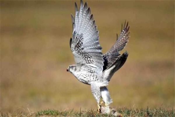 世界十大最凶的鸟 猎鹰会将猎物撕成裂肉,第七曾击杀过小孩