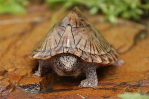 世界十大厉害龟 八角龟能让猎物血流不止,第五能把木船咬粉碎