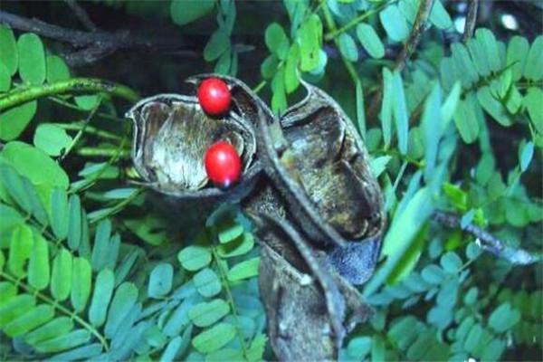 世界有毒十大植物 乌头又称毒药女王,鸡母珠三毫克就能致死