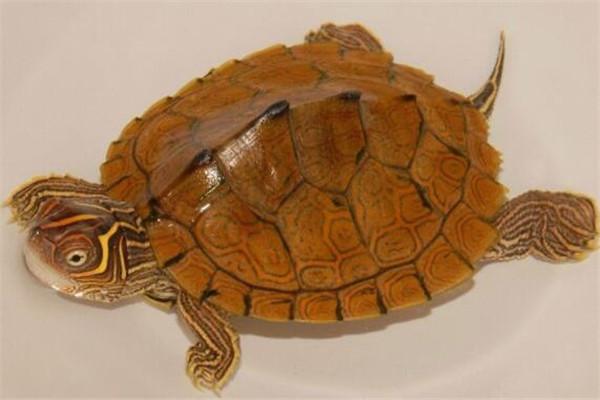 世界十大龟 河龟少到被圈养,红腿陆龟有着葫芦腰