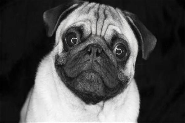 世界十大名狗排名 拉布拉多很讨人喜欢,牧羊犬大多成了警犬