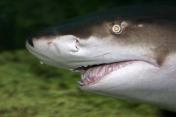 世界十大最厉害的鲨鱼 虎鲨位列榜首,达摩鲨上榜