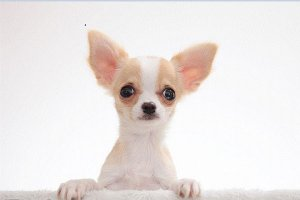 小型宠物犬排名 柯基、小鹿犬上榜,吉娃娃排在第一位
