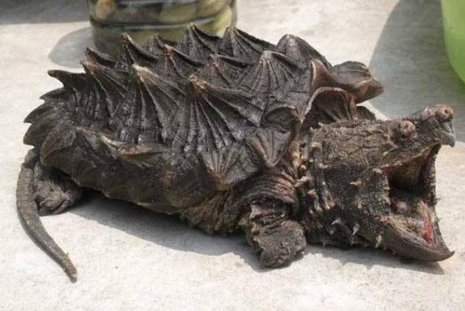 世界十大最凶猛的乌龟 棱皮海龟排第一,体重达900公斤