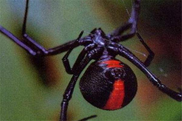 世界最毒十大蜘蛛 红背蜘蛛上榜,悉尼漏斗网蛛15分钟能致死