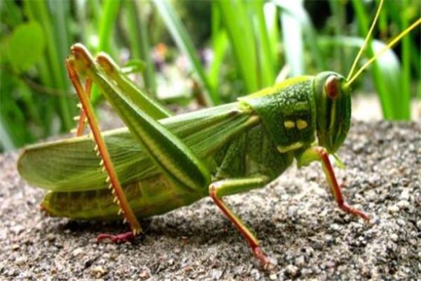 世界十大最强昆虫 蝗虫上榜,第三能自己转化电能