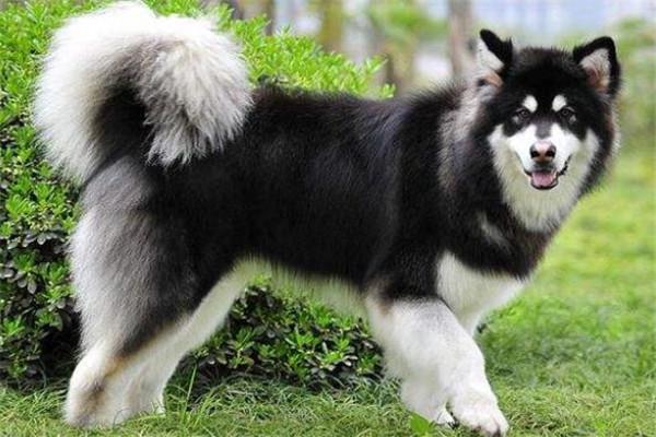 世界十大名犬 秋田犬感动了全世界,贵宾犬气质很高贵