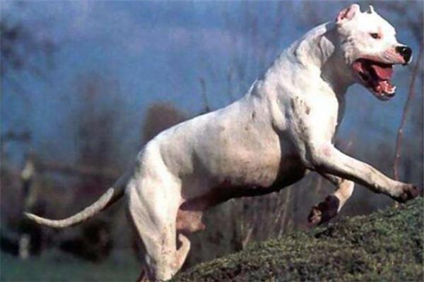 世界十大最凶悍猛犬 西藏獒犬上榜,比特犬异常凶猛