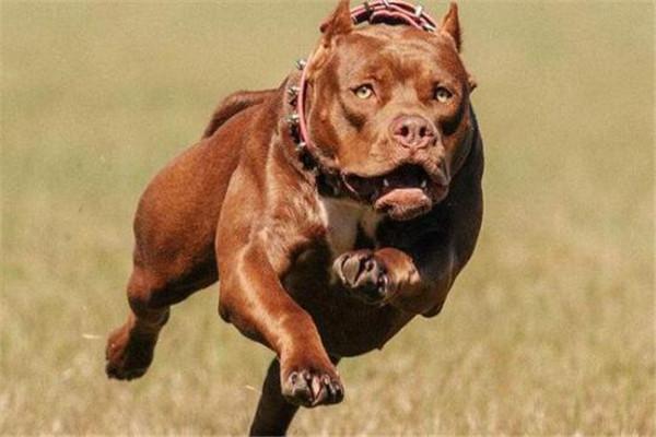 世界最凶的狗十大排行榜 加纳利犬每年致死率全球居前列