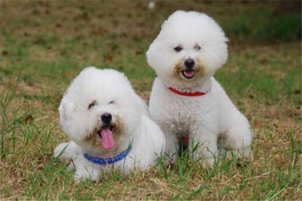世界十大宠物狗 泰迪可爱寿命还长,吉娃娃犬绝对忠诚