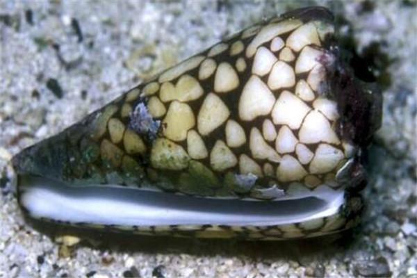 世界最毒十大生物 大理石芋螺上榜,石头鱼很善于隐藏