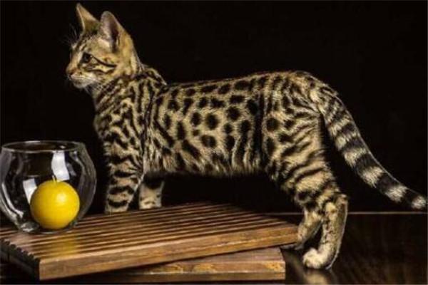 世界十大最贵的动物 雄蜣螂需89000美元,萨凡纳猫养起来也很贵