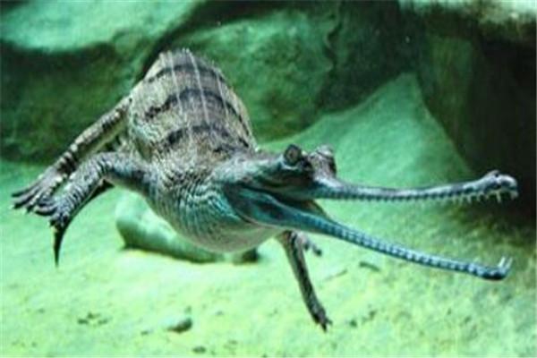 世界十大鳄鱼 恒河鳄喜欢攻击人类,你认识哪几个