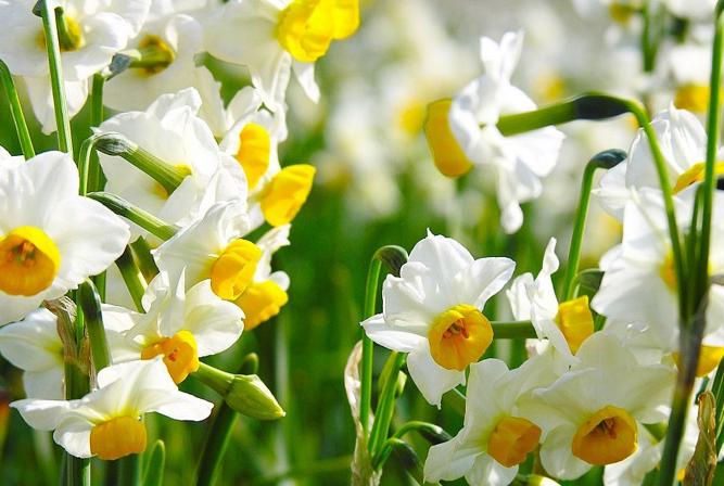 世界十大香花 栀子花排第一,茉莉花最受欢迎
