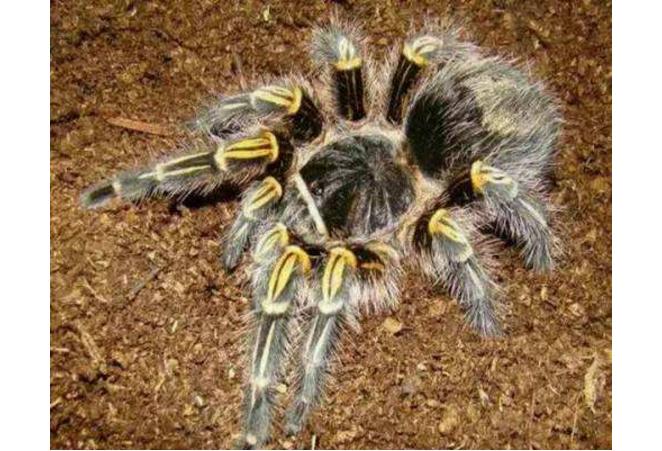 世界十大巨型蜘蛛 腿长就有30厘米,这些蜘蛛你见过吗