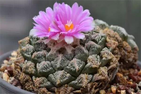 世界十大最贵的植物 螺旋芦荟上榜,银冠玉长相越奇怪越值钱