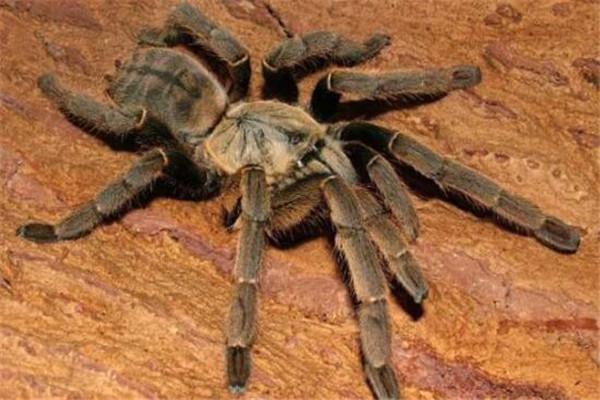 世界十大最毒蜘蛛 黄囊蛛上榜,花边鸟蛛一口可能让人昏迷不醒
