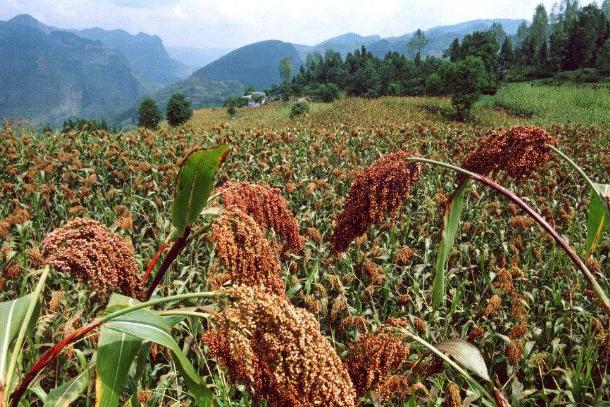 世界十大害草 水葫芦上榜,香附子排第一