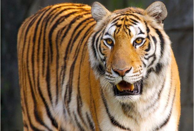 世界咬合力陆地最大的动物十大 湾鳄排第一,老虎仅列第八