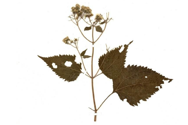 世界十大有剧毒的植物 夹竹桃上榜,念珠豌豆最毒