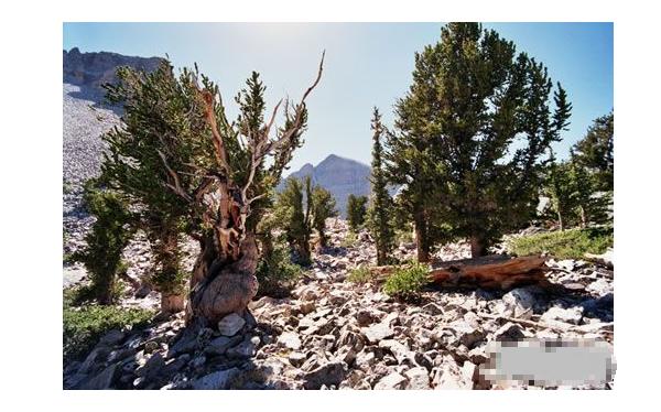 世界十大奇树 样貌奇特,生命力更顽强