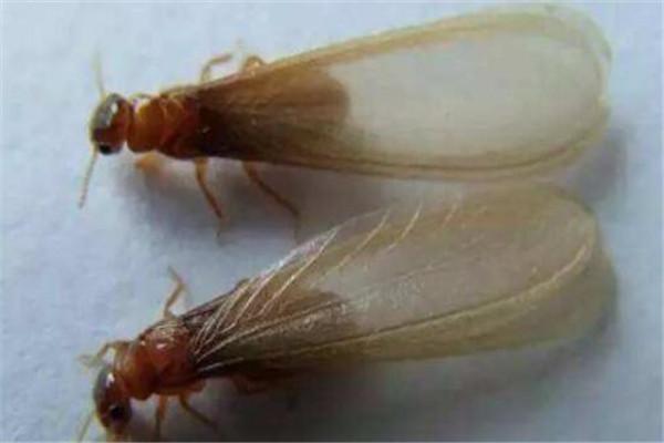 世界十大致命昆虫 行军蚁上榜,虎甲虫每小时能跑5.6英里